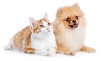 Pomeranian and cat